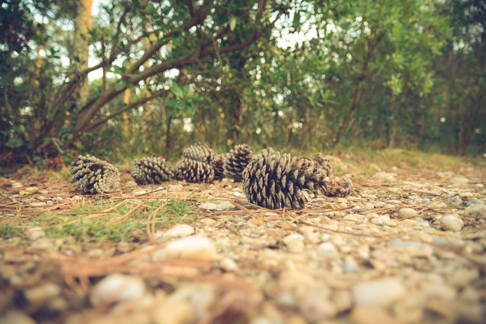 boss-fight-free-high-quality-stock-images-photos-photography-pinecones-forest-floor-960x640